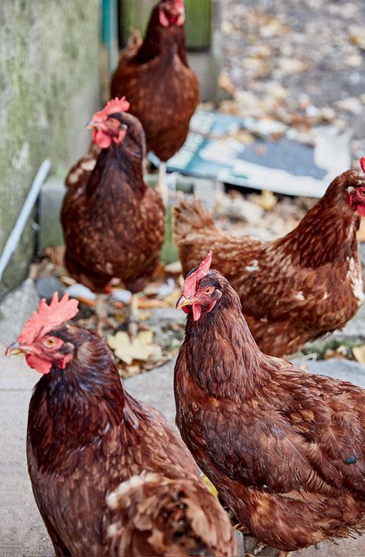 http://modernfarmer.com/wp-content/uploads/2016/09/space-chickens.jpg