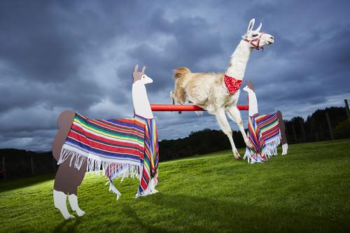 Caspa - Highest Jump By A Llama Guinness World Records 2016 Photo Credit: Paul Michael Hughes/Guinness World Records Location: Porthmadog, Wales