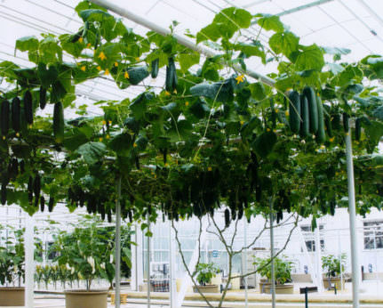 most-cucumbers-harvested-from-one-plant-in-one-year