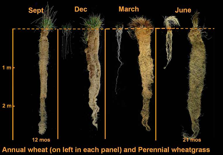 Kernza vs wheat roots