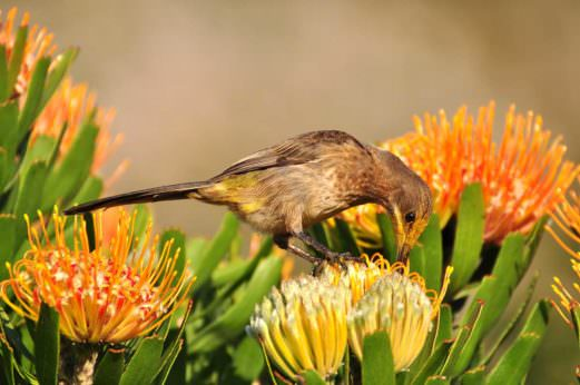 Sugarbird feeding on a flower
