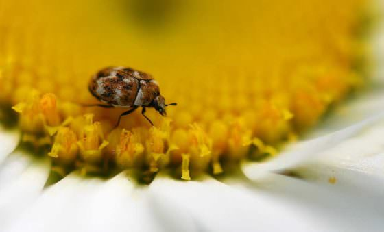 A small beetle helping pollinate an Aster flower.