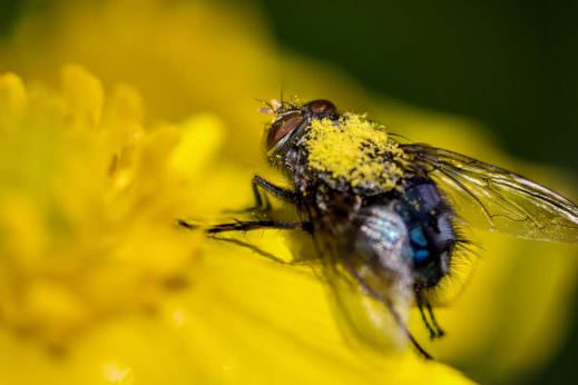A fly pollinating a flower