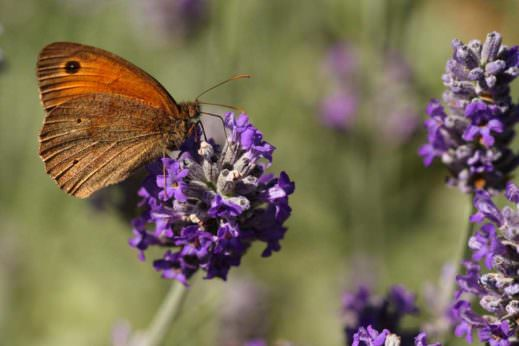 Meadow Brown butterfly on Lavender at the Cambridge Botanical Gardens in the U.K.