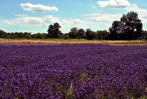 Lavender growing in a field.