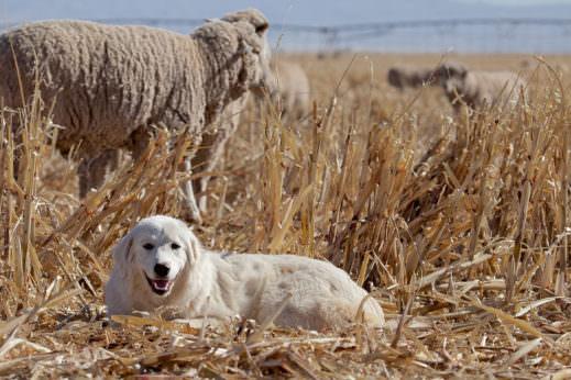 How to Choose a Livestock Guard Dog - Modern Farmer