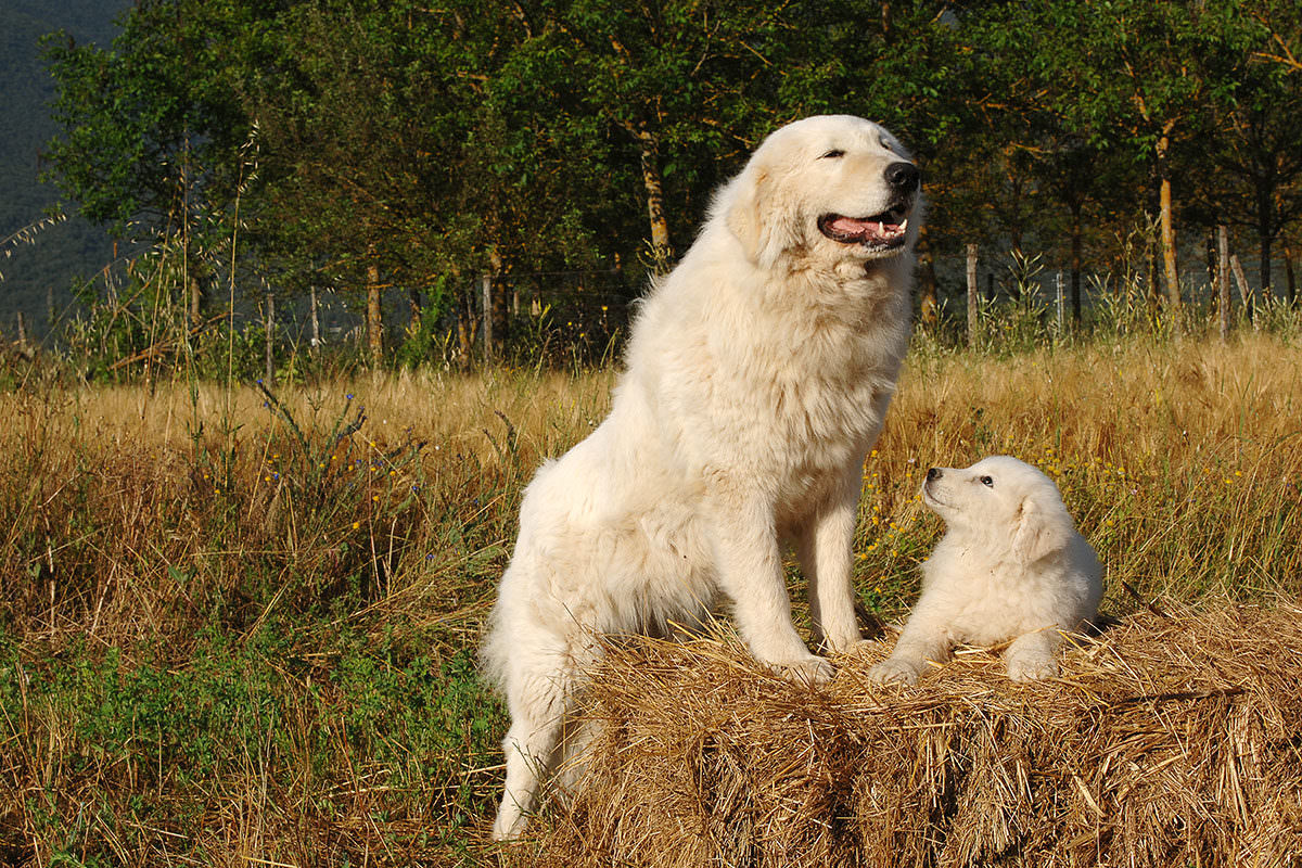 How To Choose A Livestock Guard Dog Modern Farmer