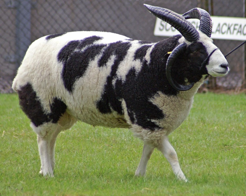 These Are the 12 Sickest Sheep Breeds in the World