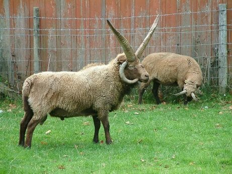 """Lesser-Known Sheep Breeds From Around the World""""And What They're"""
