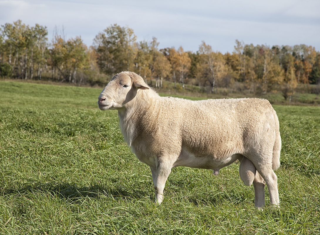 8 Sheep That Don't Require Shearing - Modern Farmer
