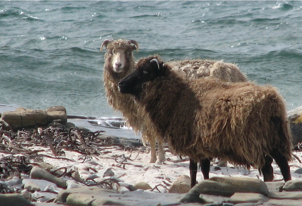 """Lesser-Known Sheep Breeds From Around the World""""And What"""