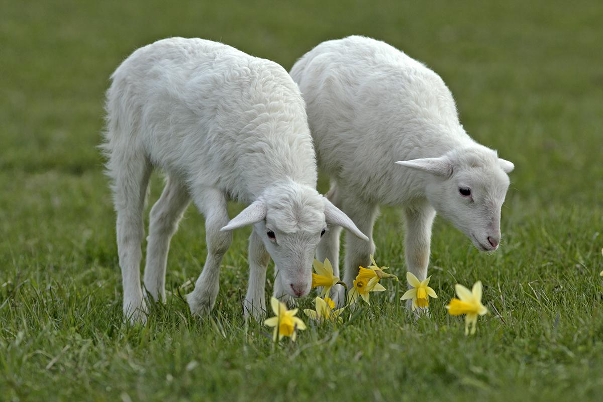 8 sheep that don t require shearing modern farmer