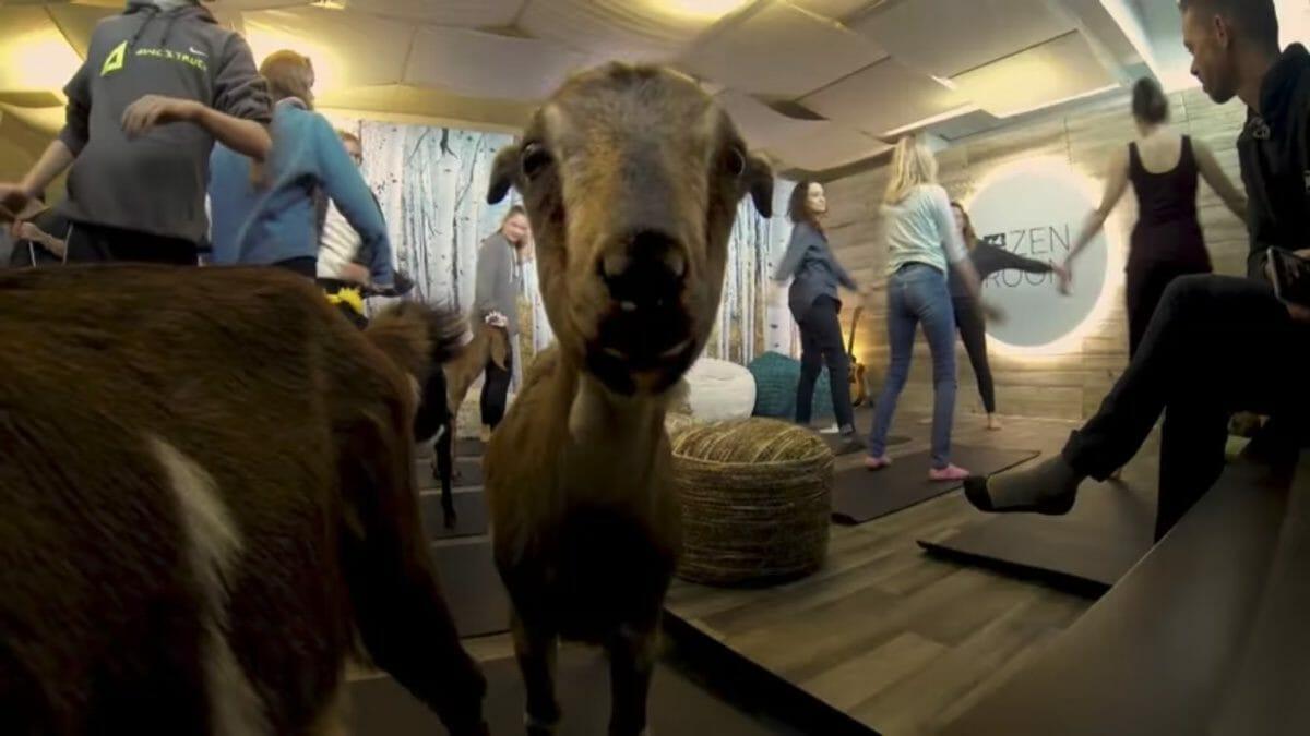 Brilliant Denver International Airport Made A One Day Goat Yoga Room Home Interior And Landscaping Spoatsignezvosmurscom