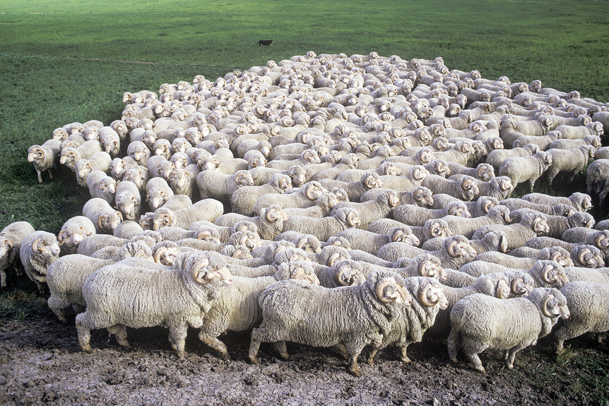 6 fun facts about sheep you might not know modern farmer