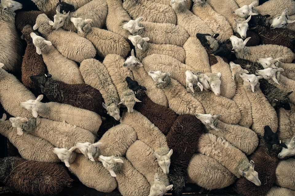sheep health husbandry and disease a photographic guide