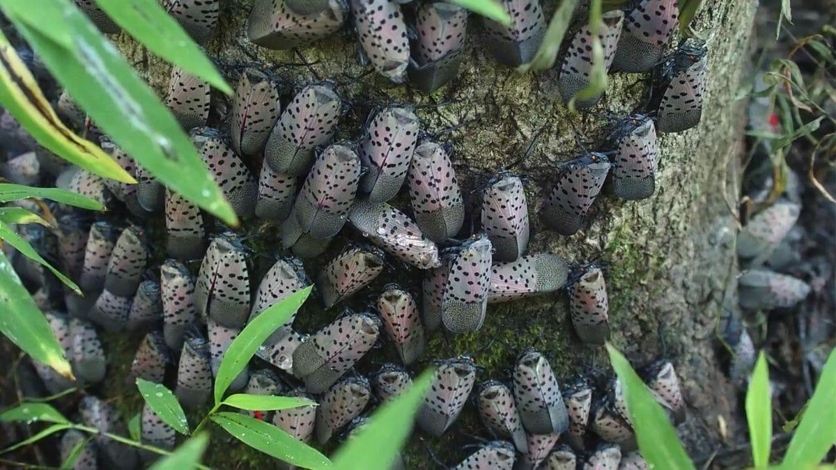 Adult spotted lanternfly can be found August-September (modernfarmer.com)
