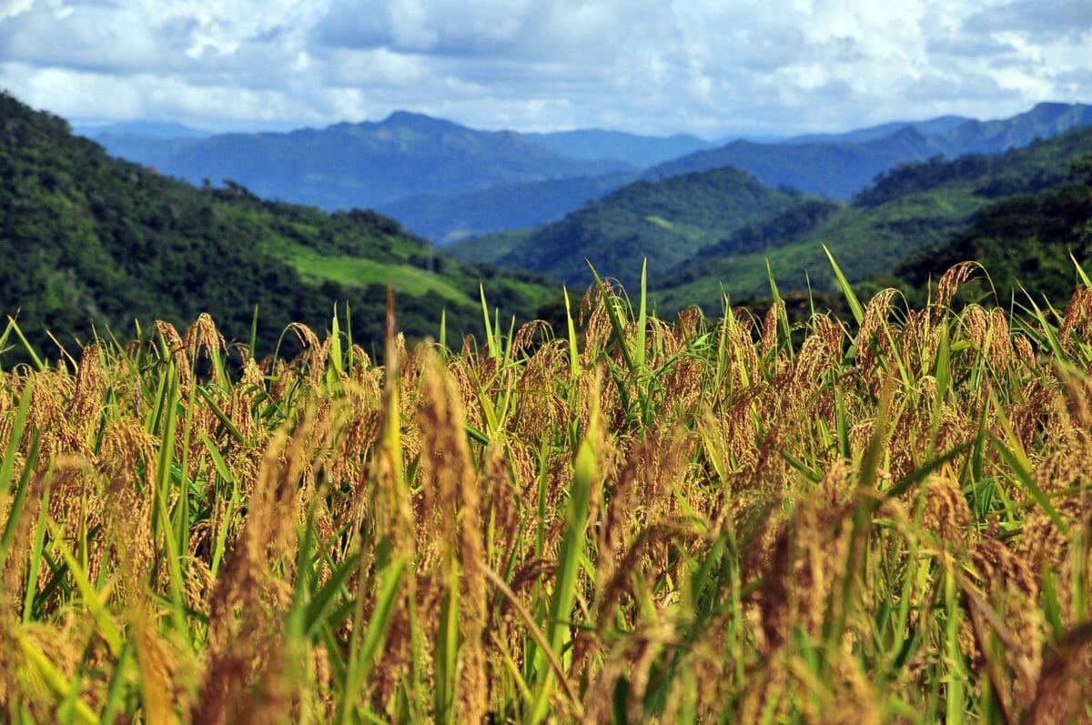 Upland rice is a type of rice grown on dry hills rather than in paddies. Hill rice is a type of upland rice.