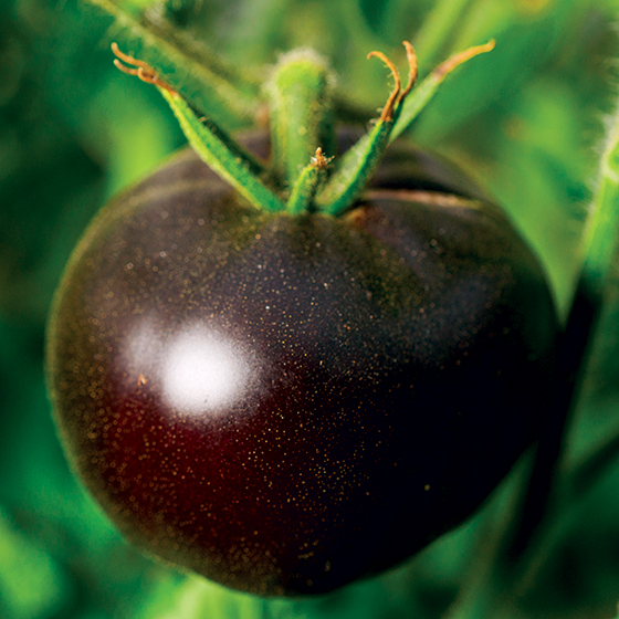 HEIRLOOM-TOMATO-black-beauty-tomato_baker-creek