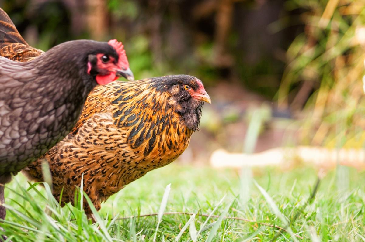 Backyard Chicken Regulations