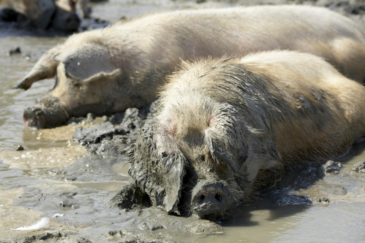 happy as a pig in mud, history of farm idioms
