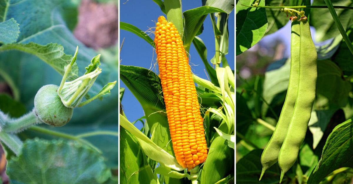 three sisters garden planting corn squash beans