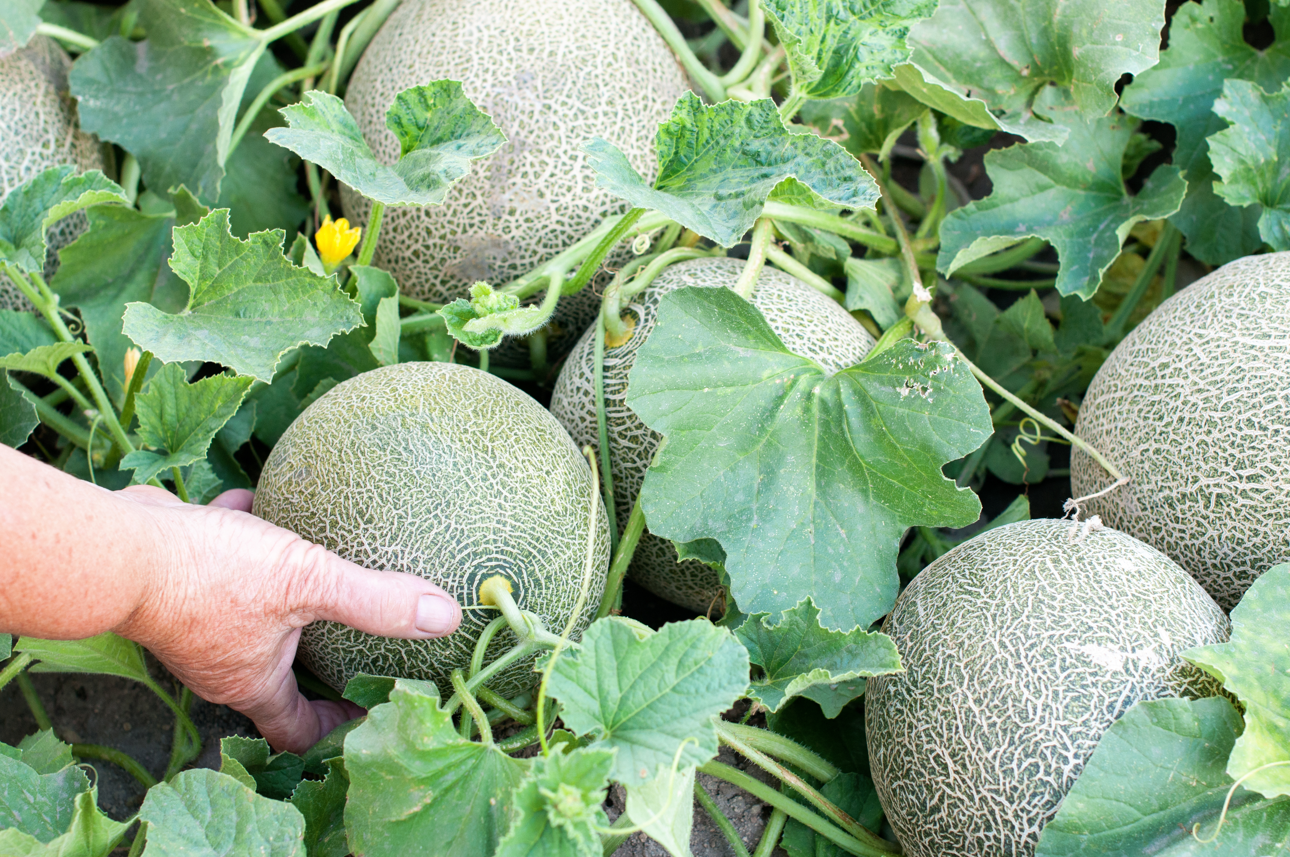 8 Tips For Growing The Sweetest Melons Modern Farmer A wilted appearance and sticky honeydew on melons are characteristics of heavy aphid infestations. 8 tips for growing the sweetest melons