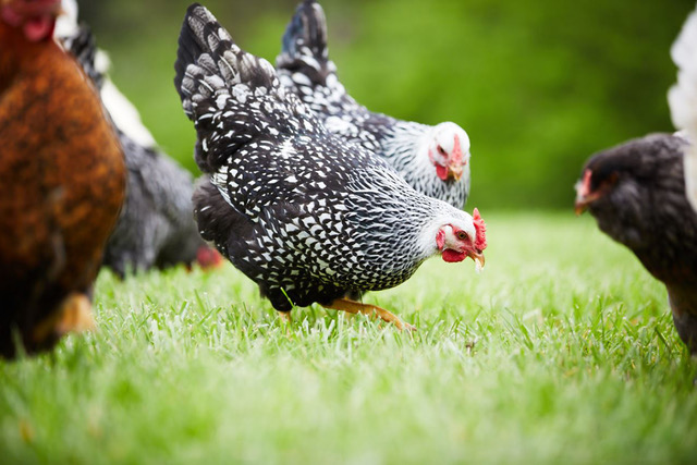 How To Switch To A Chicken Layer Feed Modern Farmer