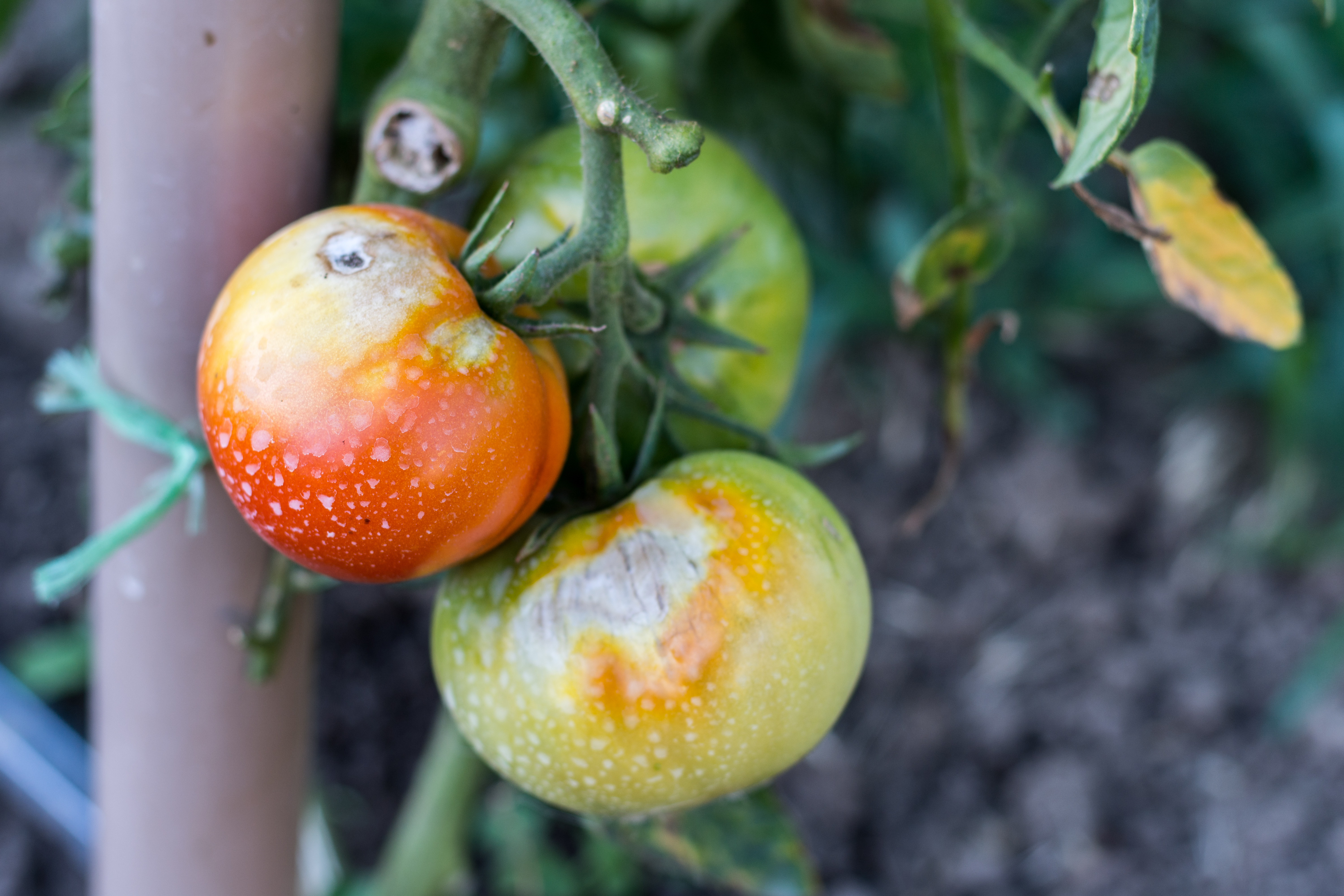 Ask Modern Farmer: What's Wrong with my Tomato Plants