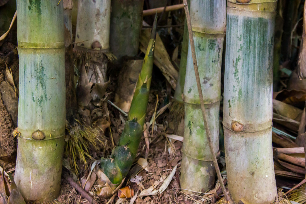 How To Grow Edible Bamboo Shoots Modern Farmer