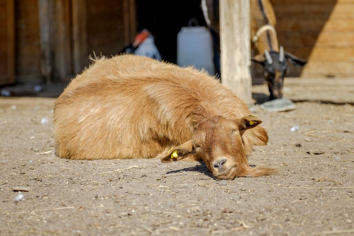 Backyard Livestock 101: Chickens, Turkeys, Goats, and ...