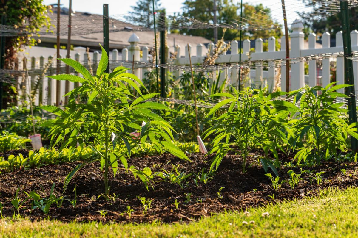 How to Grow Cannabis In Your Garden - Modern Farmer