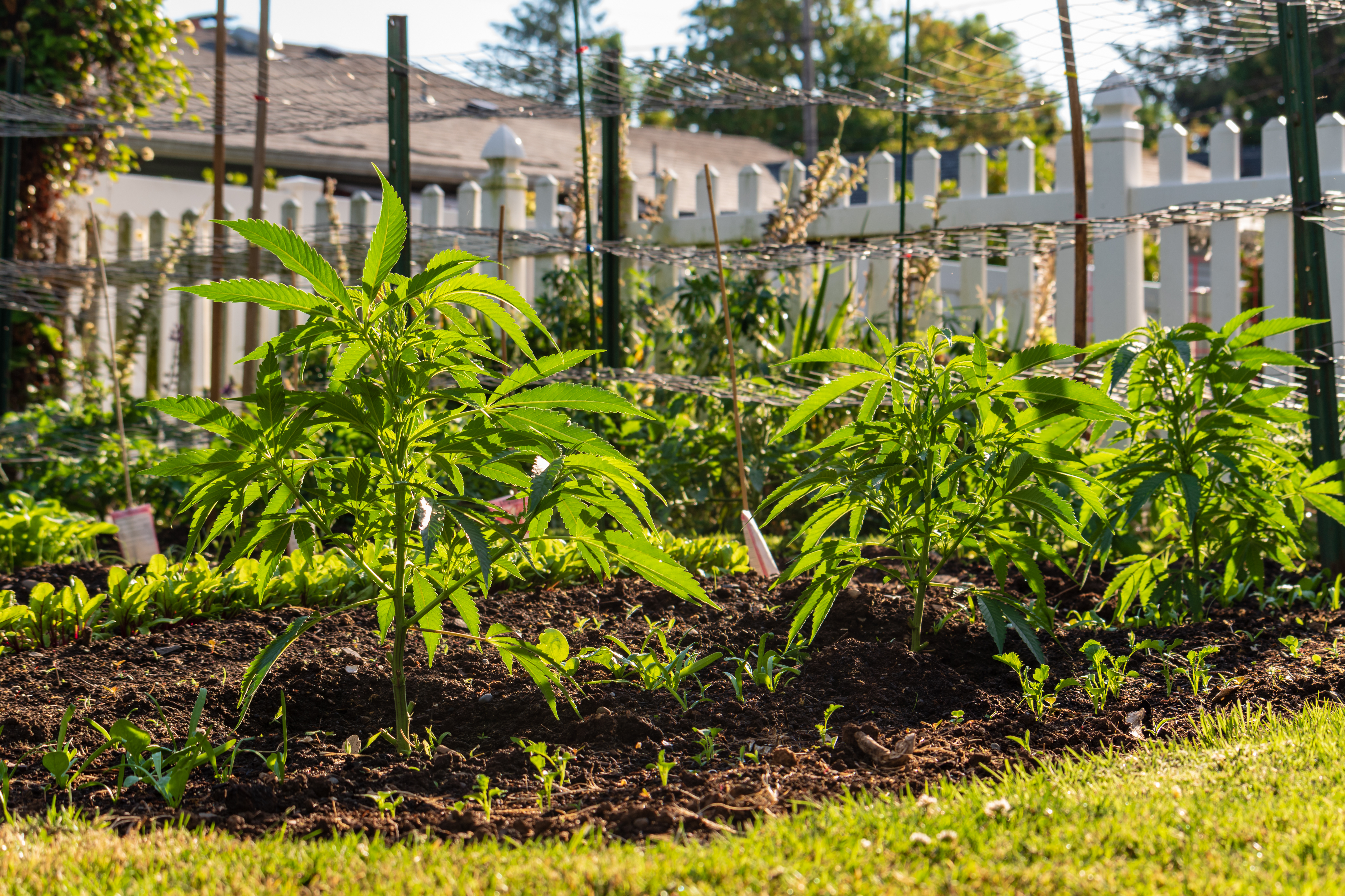 How To Grow Cannabis: A Beginner's Guide To Safely ...