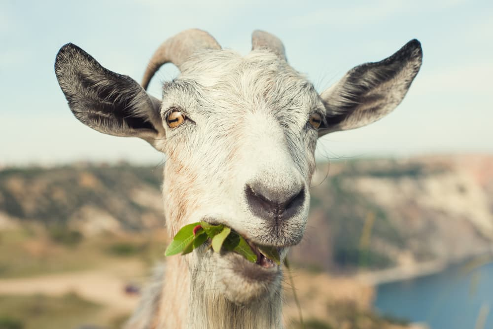 California City Launches Goat Fund Me For Wildfire