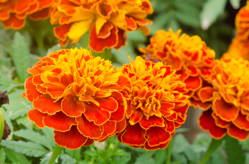 Gardeners Were Right: Marigolds DO Help Prevent Tomato Pests