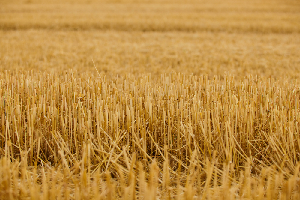 Climate Change Could Send Wheat-Growing Areas Into Drought