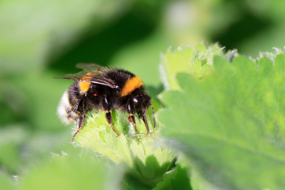 Truly Wild Bee-Applied Fungus-Based Pesticide Gets EPA