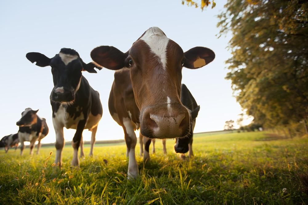 Small Organic Dairy Farmers Push to Close  Certification Loophole