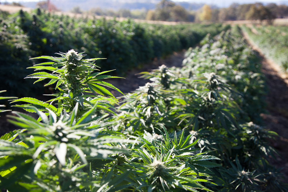 USDA Unveils New Rules For Hemp Production