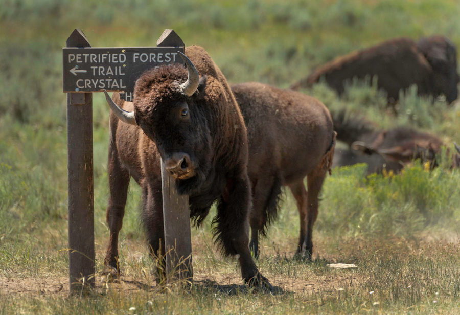 Bison Are Farmers, Sort Of