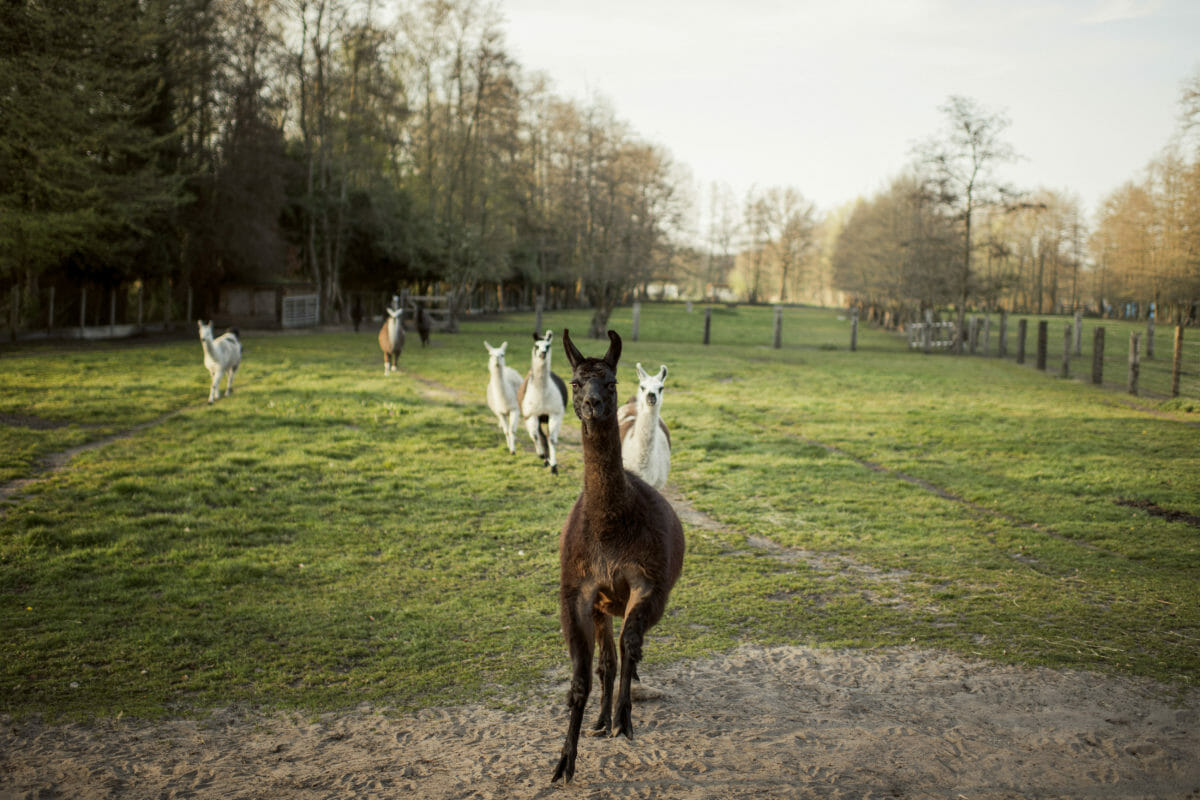How a llama could help find a corona cure