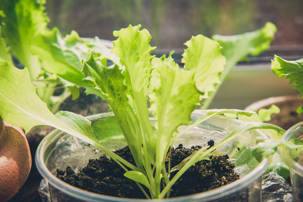 4 Easy Veggies to Grow Inside