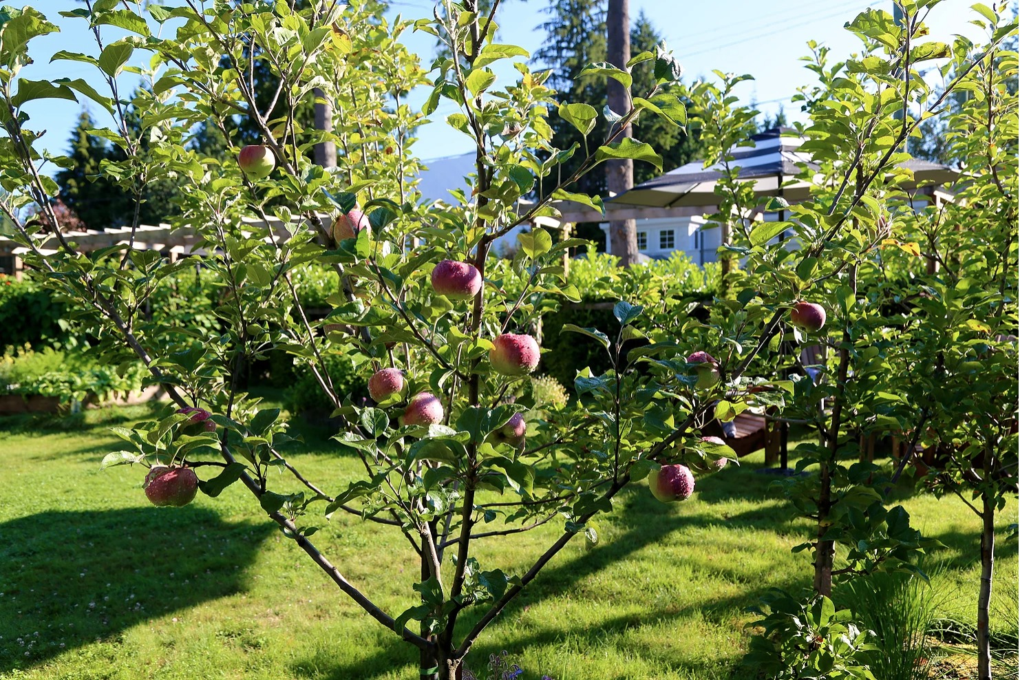 or small gardens Dwarf Patio Apple Tree Bramleys Seedling Fruit tree for pots