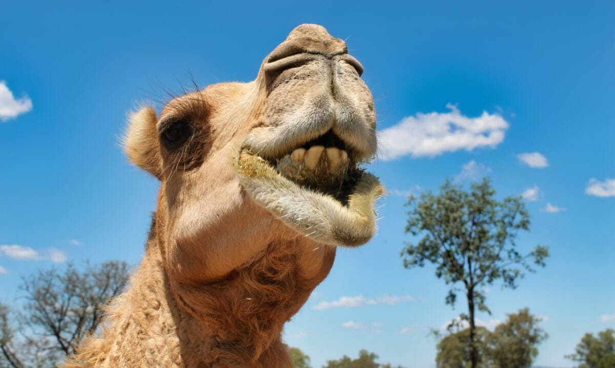 A Dairy Solution for Australia's Out-of-Control Feral Camels