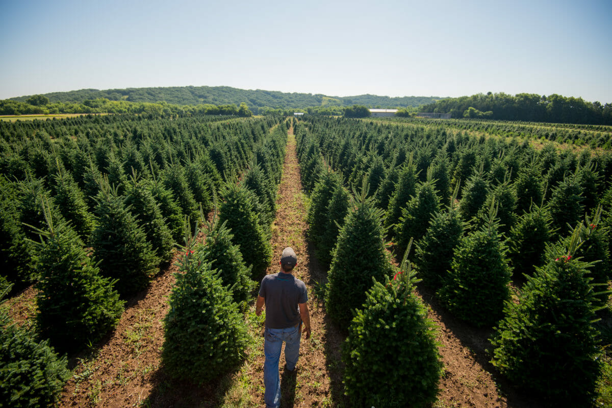 Pandemic Brings Early Crowds to Christmas Tree Farms ...