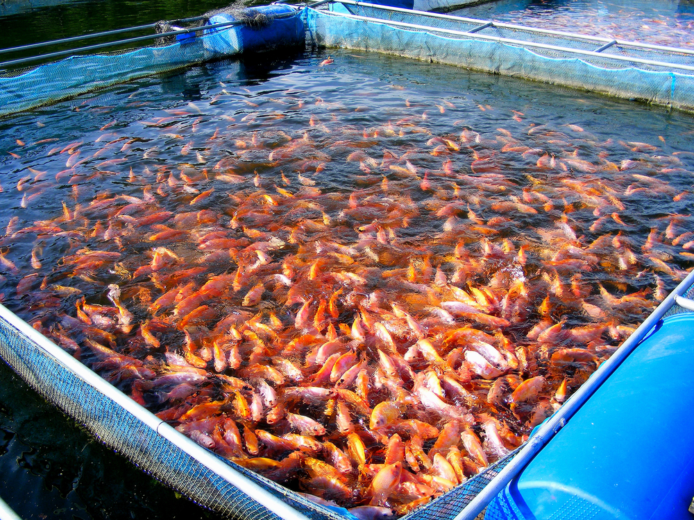 Research on Aquatic Farmed Animal Welfare Is Pitifully Limited